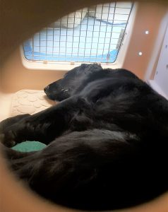 Photo of Lily the dog snoozing in the measurement kennel during the test.